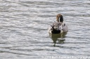 Northern Pintail Duck, male, 4/2/13